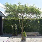 Landelijke tuin in Joure met dakplataan