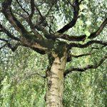 oude boom in tuin